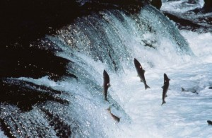 salmonFish3
